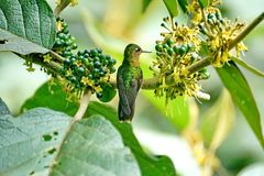 Tyrian metaltail in Ecuador. Tyrian metaltail - Metallura tyrianthina - hummingbird in a plant with berries at a lodge near Baeza, Ecuador royalty free stock photography