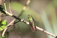 Tyrian Metaltail royalty free stock photos