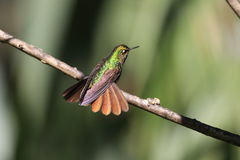 Tyrian Metaltail Royalty Free Stock Images