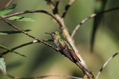 Tyrian Metaltail stock photo
