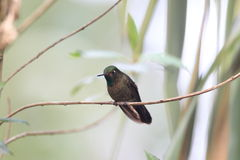 Tyrian Metaltail royalty free stock photography