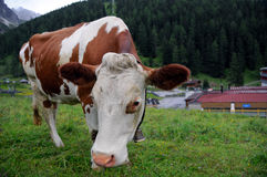 Tyrolean cow Royalty Free Stock Photos
