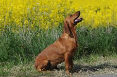 Tyrolean hound Stock Photo