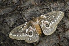 Tyrrhea d'empereur Silkmoth - de Gonimbrasia de zig-zag photo libre de droits