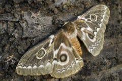Tyrrhea för sicksackkejsare Silkmoth - Gonimbrasia Arkivbild