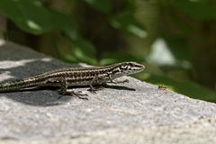Tyrrhenian Wall Lizard, Padarcis tiliguerta, female lizard from Corsica, France Stock Photos