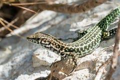 Tyrrhenian wall lizard Stock Photography
