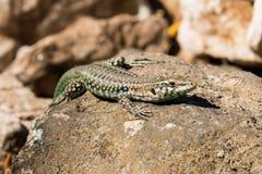 Tyrrhenian wall lizard Royalty Free Stock Image
