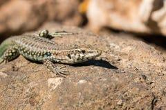 Tyrrhenian wall lizard Stock Images