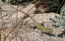 Tyrrhenian Wall Lizard. The Tyrrhenian wall lizard Podarcis tiliguerta is a species of lizard in the Lacertidae family. It is found in Sardinia and Corsica royalty free stock photos