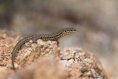Tyrrhenian wall lizard Royalty Free Stock Photos