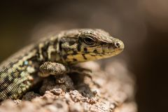 Tyrrhenian wall lizard Royalty Free Stock Photo