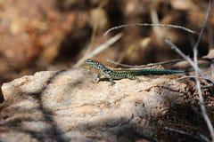 Tyrrhenian wall lizard Stock Photos