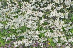 Tysiąc białych kwiatów wiosny śliwkowych drzew Zdjęcie Stock