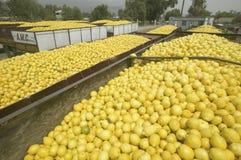 Tysiące cytryny wypełnia ciężarówkę obrazy stock