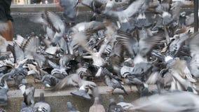 Tysiące gołębia tłum na chodniczka łasowania chlebie zbiory wideo
