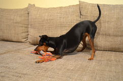 Tysk älsklings- hund för miniatyrpinscher på en soffa med dess leksak fotografering för bildbyråer