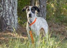 Tysk blandad avelhund för Shorthaired pekare Royaltyfri Bild
