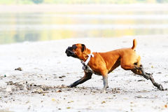 Tysk boxarehund som kör ner stranden royaltyfri foto