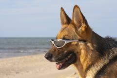 Tysk fårhund med sol- exponeringsglas Arkivfoton
