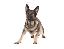 tysk grå herde för hund arkivfoton