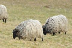 Tysk Grey Heath royaltyfri fotografi