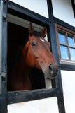 Tysk häst Royaltyfria Bilder