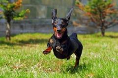 Tysk haired dvärg- tax för lycklig hund som spelar i bakgården arkivbild