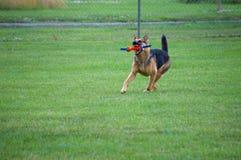 Tysk herde Catching en leksak Royaltyfria Bilder