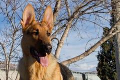 Tysk herde Dog Arkivfoto