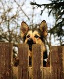 Tysk herde Dog Behind staketet Arkivfoto