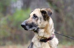 Tysk herde Dog, koppel och krage, hudvillkor, omänskligt som behandlas Arkivfoton