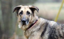 Tysk herde Dog, koppel och krage, hudvillkor, omänskligt som behandlas Royaltyfri Fotografi