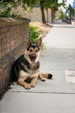 Tysk herde Dog Laying royaltyfria foton