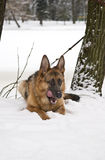 Tysk herde Dog Lying på snö Royaltyfria Foton