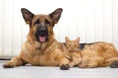 Tysk herde Dog och för katt som katt och hund tillsammans ligger tillsammans Arkivbild