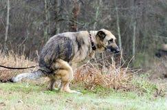 Tysk herde Dog som pooping i gård Arkivbild