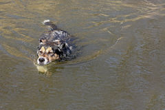 Tysk herde Dog Swimming i sjön Arkivfoton