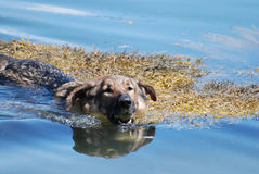 Tysk herde Dog Swimming med en tennisboll royaltyfria foton