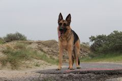 Tysk herde Dog Waits Standing Arkivfoton