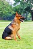 tysk herde för 6 hund Arkivfoton