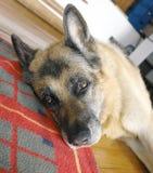 tysk herde för hund Royaltyfri Foto