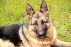 tysk herde för hund Arkivfoto