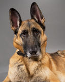 tysk herde för hundkvinnlig Fotografering för Bildbyråer