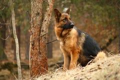 tysk herde för hund Fotografering för Bildbyråer
