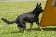 Tysk herde i utbildning för polishund Royaltyfri Bild
