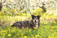 Tysk herde Mix Dog Laying i blommaäng på den Apple fruktträdgården arkivbilder