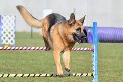 Tysk herde på ett hundvighetförsök Arkivbilder