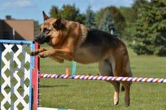 Tysk herde på ett hundvighetförsök Royaltyfri Foto