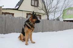 Tysk herde på snön Fotografering för Bildbyråer